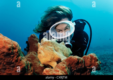 Diver watching a big angler (Antennarius commersoni) on sponge on the coral reef, Great Barrier Reef