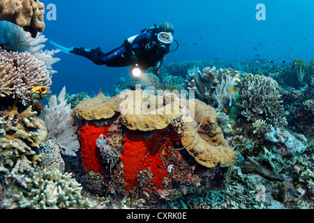 Female diver looking at a giant clam (Tridacna gigas), on a coral reef, Great Barrier Reef, a UNESCO World Heritage - Stock Photo