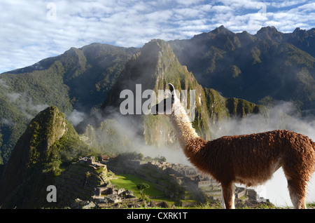 Llama (Lama glama) at the Inca ruins of Machu Picchu in the Andes, UNESCO World Heritage Site, Urubamba Valley, - Stock Photo