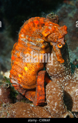 Pacific seahorse (Hippocampus ingens) and a small sponge, Ponta de Sao Vicente, Isabella Island, Albemarle, Galapagos - Stock Photo
