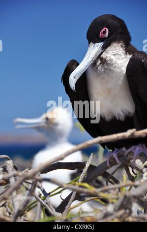 Frigatebird (Fregata sp.) on the next with young birds, Galapagos Islands, Ecuador, South America - Stock Photo