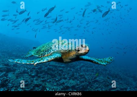 Green sea turtle (Chelonia mydas) swimming over a reef, a shoal of fish at the back, Punta Cormorant, Floreana Island - Stock Photo