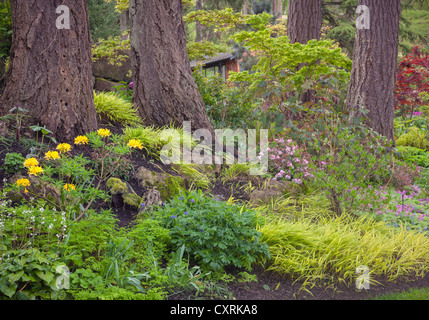 A perennial garden featuring deciduous azaleas, geraniums; Japanese forest grass; maples under a stand of Douglas - Stock Photo