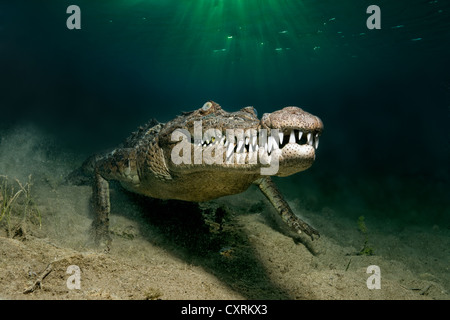 Saltwater Crocodile or Estuarine Crocodile or Indo-Pacific Crocodile (Crocodylus porosus), underwater, head-on - Stock Photo