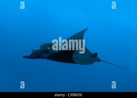 Giant Oceanic Manta Ray (Manta birostris) with two Remoras, Suckerfish or Sharksuckers (Remora remora), Roca Partida - Stock Photo