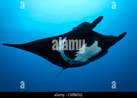 Giant Oceanic Manta Ray (Manta birostris), from underneath, Roca Partida, Revillagigedo Islands, Mexico, America - Stock Photo