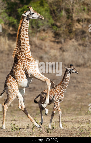 Massai, Maasai, Masai Giraffe or Kilimanjaro Giraffe (Giraffa camelopardalis tippelskirchi), pushing young, Arusha - Stock Photo