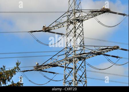 White storks (Ciconia ciconia) nesting on an electricity pylon, near Mainz, Rhineland-Palatinate, Germany, Europe - Stock Photo