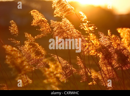 Reeds in the last evening light, Feldbach, Styria, Austria, Europe - Stock Photo