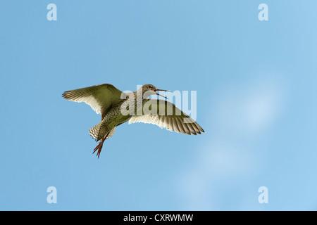 Common Redshank (Tringa totanus) in flight, Westerhever, Schleswig-Holstein, Germany, Europe - Stock Photo