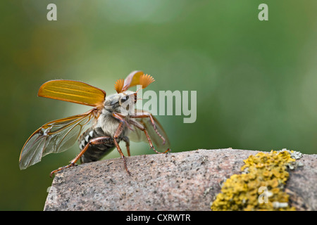 Cockchafer (Melolontha melolontha), taking off, Guxhagen, Hesse, Germany, Europe - Stock Photo