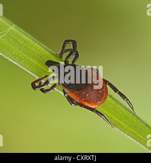 Castor Bean Tick (Ixodes ricinus) on a blade of grass, Hesse, Germany, Europe - Stock Photo