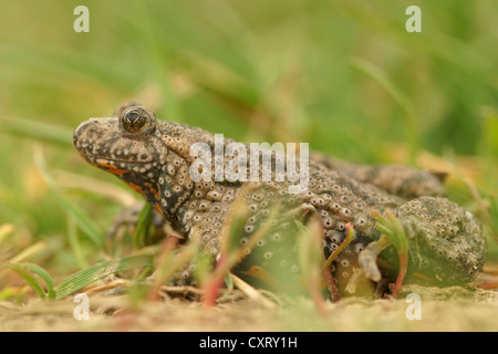European fire-bellied toad (Bombina bombina), northern Bulgaria, Bulgaria, Europe - Stock Photo