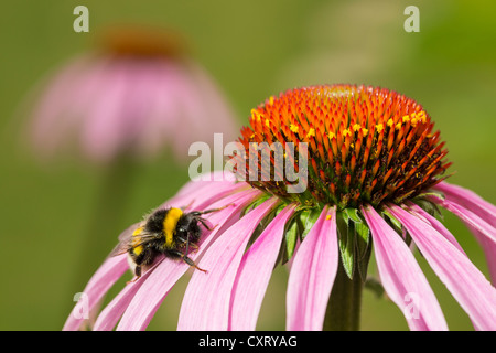 Buff-tailed bumblebee or large earth bumblebee (Bombus terrestris), on a Purple Coneflower (Echinacea purpurea), - Stock Photo