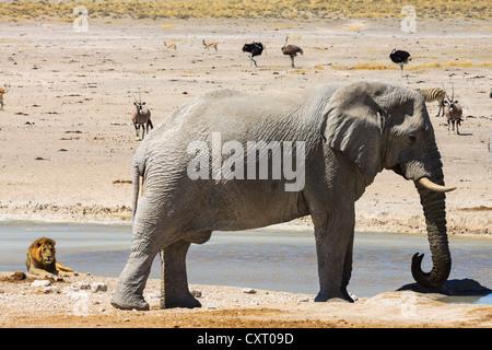 African Elephant (Loxodonta africana) and a lion (Panthera leo), Etosha National Park, Namibia, Africa - Stock Photo