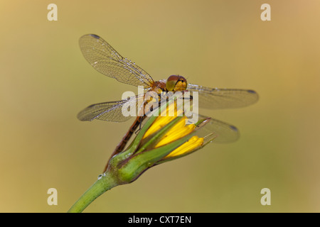 Common Darter Dragonfly (Sympetrum striolatum), Vulkan Eifel, Rhineland-Palatinate - Stock Photo