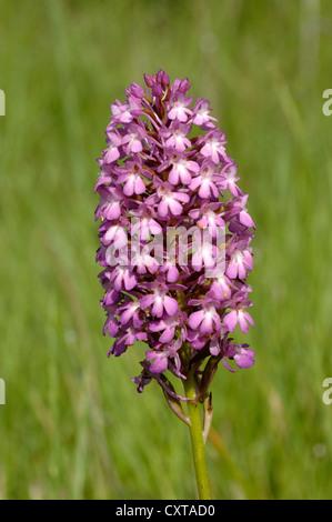 Pyramidal Orchid Anacamptis pyramidalis Provence France - Stock Photo