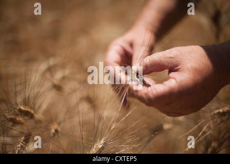 Close up of hands examining wheat stalks - Stock Photo