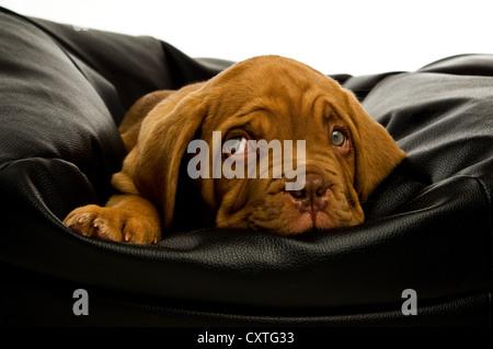 Dogue De Bordeaux puppy on a black bean bag - Stock Photo