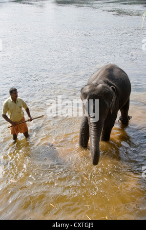 Vertical view of a young Asian elephant standing in the water at a sanctuary in Kerala. - Stock Photo