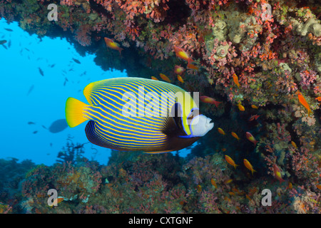 Emperor Angelfish, Pomacanthus imperator, South Male Atoll, Maldives - Stock Photo