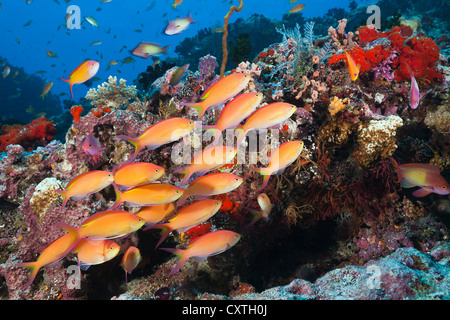 Shoal of Threadfin Anthias, Nemanthias carberryi, North Male Atoll, Maldives - Stock Photo