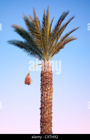 Date-palm tree above bright tropical sky - Stock Photo