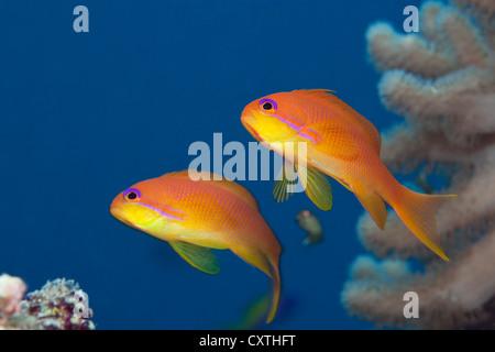 Lyretail Anthias, Pseudanthias squamipinnis, Felidhu Atoll, Maldives - Stock Photo