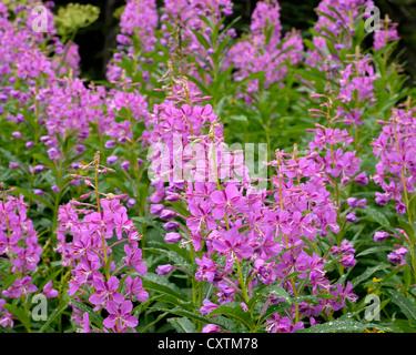 Fireweed wildflowers in bloom - Stock Photo