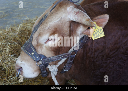 Copper ring in the nose of cattle at International livestock fair at Zafra, Badajoz, Spain (Feria Internacional - Stock Photo