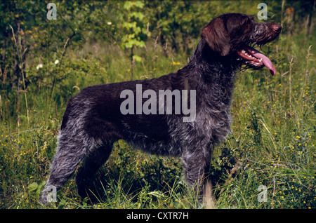 SIDE VIEW OF GERMAN WIRE-HAIRED POINTER IN FIELD - Stock Photo