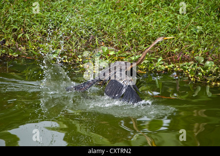 Horizontal close up of an Oriental or Indian Darter bird taking off from the water. - Stock Photo