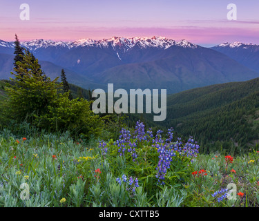 Olympic National Park, WA: View of Mount Olympus and ridge lines of Hurricane Ridge at dawn from Hurricane Hill - Stock Photo