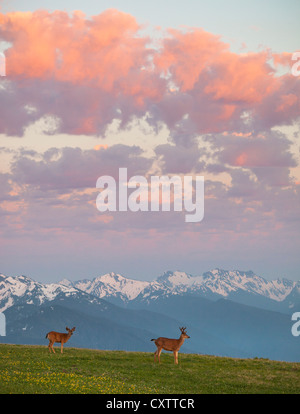 Olympic National Park, WA: A pair of black-tailed deer on Hurricane Hill under sunset clouds. - Stock Photo