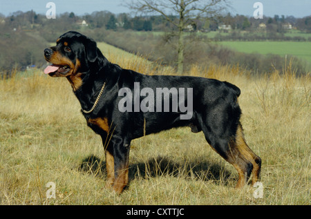 SIDE VIEW OF ROTTWEILER STANDING OUTSIDE/ ENGLAND Stock ...