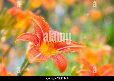 Orange garden daylily on a blurred background with bokeh and stars. - Stock Photo
