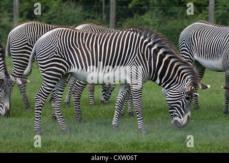 Grevy's Zebra herd of mares, Equus grevyi, at Marwell zoo - Stock Photo