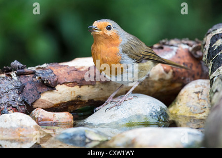 European robin (Erithacus rubecula) perched on a stone in a stream and singing - Stock Photo