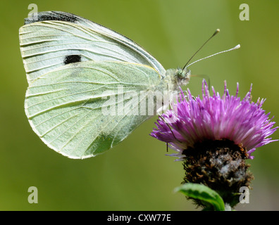 Large White butterfly (Pieris brassicae) on a knapweed flower. Bedgebury Forest, Kent, UK. - Stock Photo