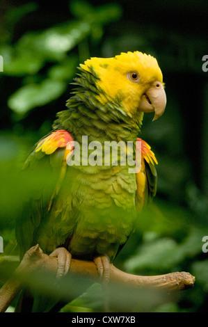 Yellow-headed Amazon (Amazona oratrix) Endangered Captive, Belize - Stock Photo