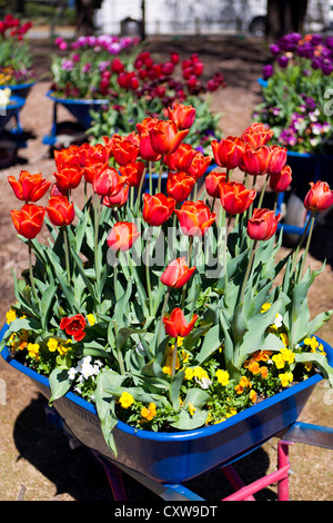 Wheelbarrows planted with red tulips at Floriade, Commonwealth Park, Canberra, Australia - Stock Photo