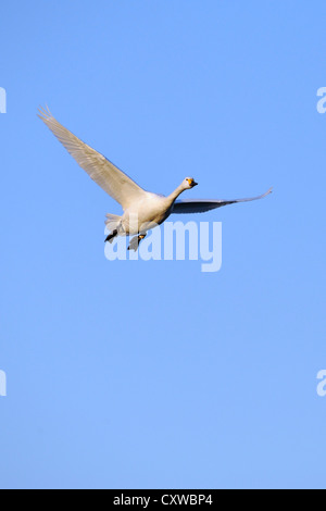 Bewick's Swan / Tundra Swan (Cygnus columbianus) - Stock Photo