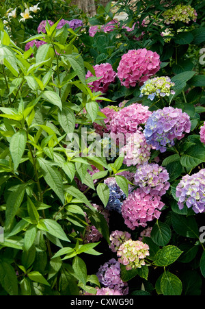 A photo of a hydrangea plant planted next to another bush in a public garden in the East Village of NYC - Stock Photo