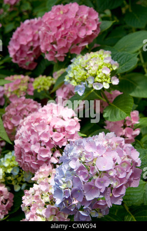 A photo of a hydrangea plant in a public garden in the East Village, NYC. - Stock Photo