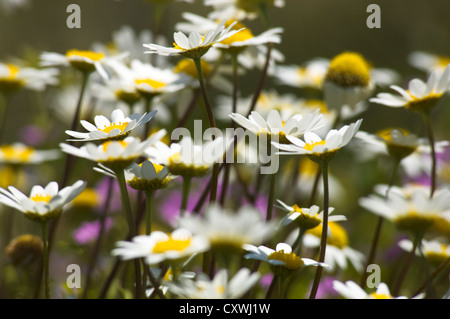 Close-up of feverfew on meadow in springtime - Stock Photo