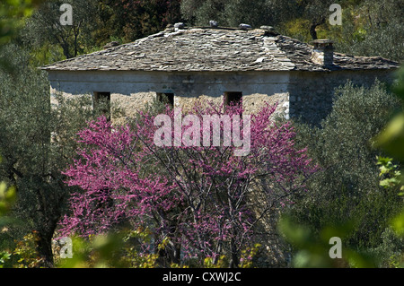 Old abandoned house with slate roof behind a flowering Judas tree - Stock Photo