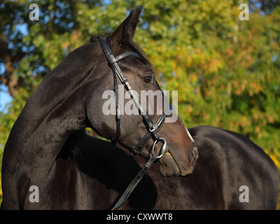 A young Holstein (type of WarmBlood) mare. Low key portrait/ Daylight - Stock Photo