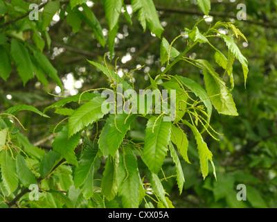 Sweet Chestnut, Castanea sativa, flower buds - Stock Photo