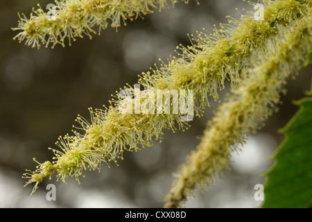 Sweet Chestnut, Castanea sativa, male flowers - Stock Photo