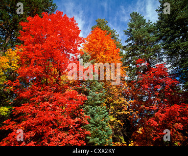 Big-Tooth Maples in full color. Crackerbox Canyon, Autumn on the Mogollom Rim, Arizona. USA - Stock Photo